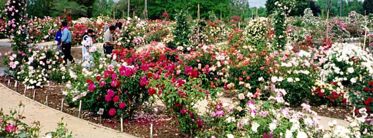Gardening In The Valley Of Heart 39 S Delight Panoramics Of San Jose Heritage Rose Garden